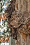 "The ""Arbol del Tule"", a Montezuma cypress. Oaxaca, Mexico"