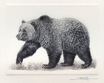 Grizzly Bear Intaglio engraving