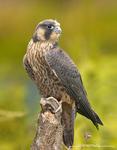 Peregrin Falcon Chick