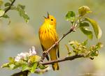 Yellow Werbler
