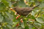 New Zealand Blackbird (Female)