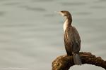 Spotted Cormorant or Parekareka