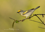 Brewsters Warbler-Hybrid of Blue winged and Golden-winged Warblers