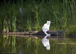 White Cat on the lake
