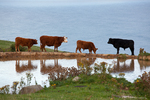 Cows in Nugget point, South island New  Zealand